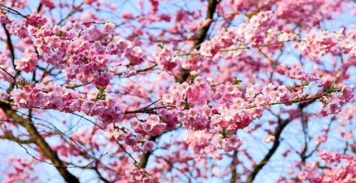 körsbärsträd jag har adhd blommande körsbärsträd